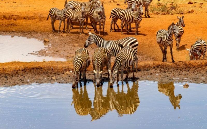 7 Days Tsavo East, Tsavo West, Amboseli, Masai Mara, Lake Nakuru and Bogoria, Nairobi and Mombasa – Road safari from Mombasa