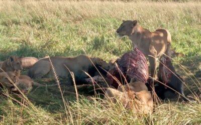 Nairobi Wildlife Safari : 6 Days Amboseli, Lake Nakuru, Masai Mara – Kenya African Safaris